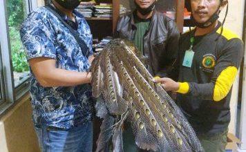 Photo of Polsek Kaur Utara Serah Terima Burung Kuau Raja jantan ke BKSDA