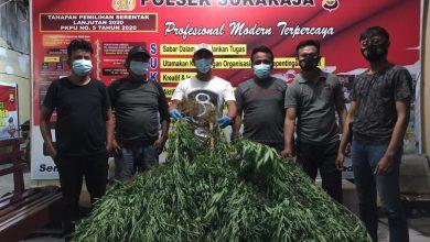 Photo of Petani Ganja Ditangkap Polisi, Miliki Lahan Seluas 2 Hektar